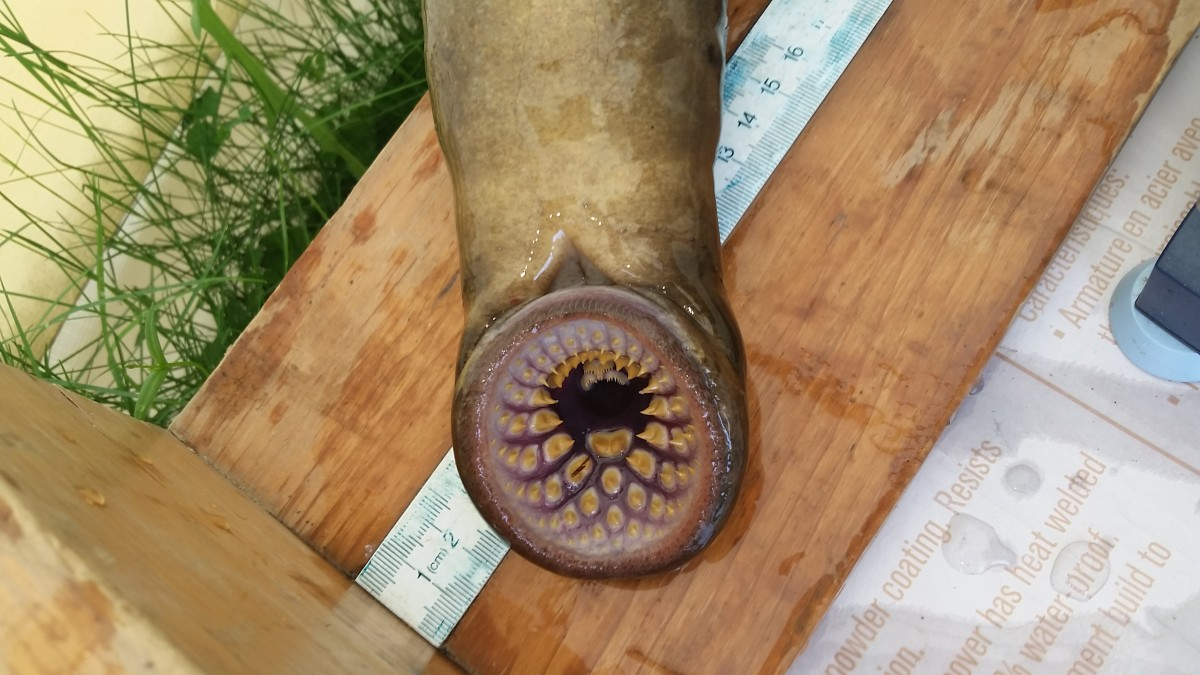 Sea_lamprey,_Little_River_counting_fence_4